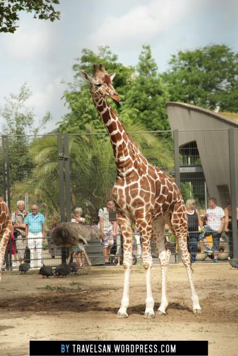 artis_giraffe