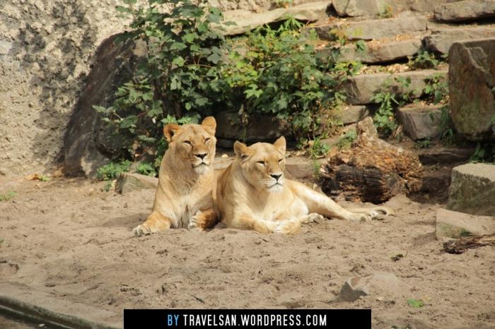 artis_lionesses
