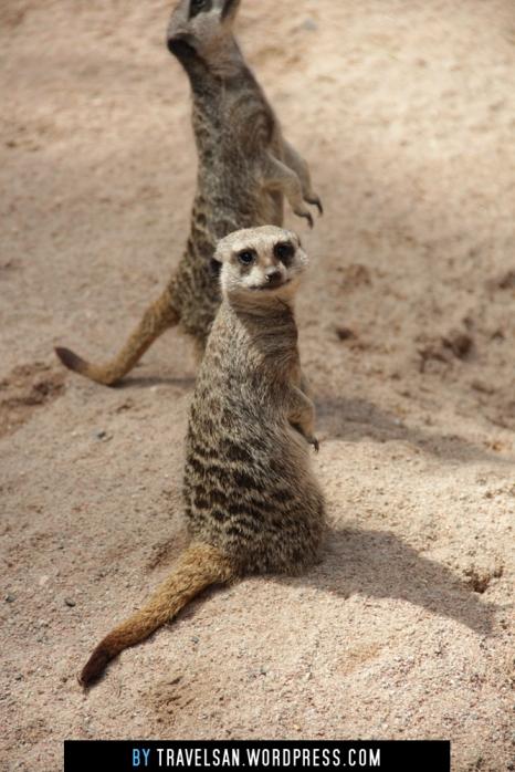 artis_meerkat