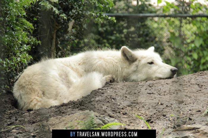 artis_wolf