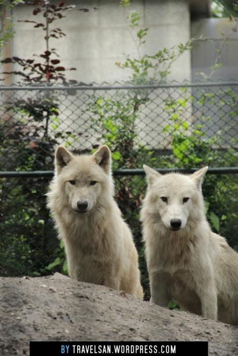 artis_wolf2