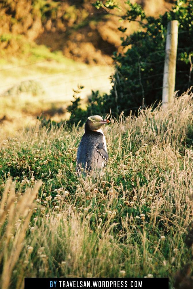 yelloweyedpenguin