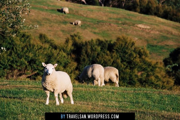 onuku-farmhostel_sheep