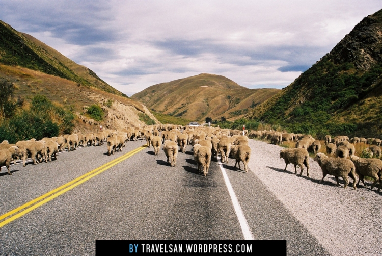 sheepjam