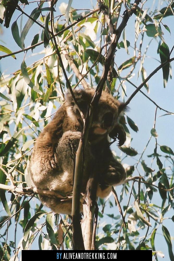 koala-kennethriver