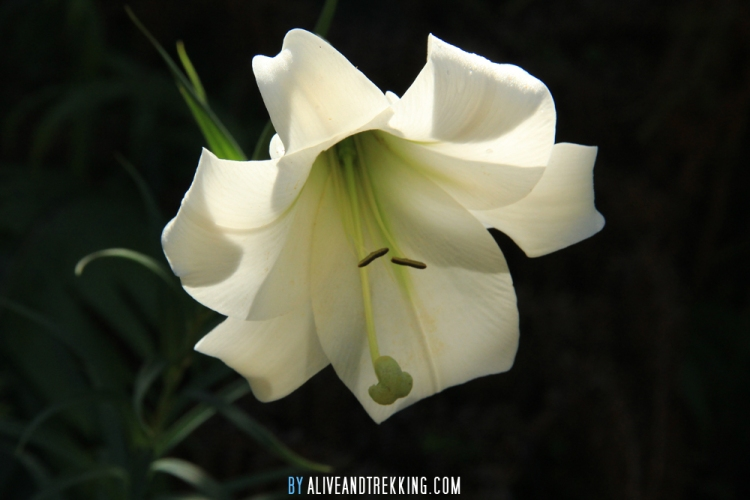 hopewell-flower2