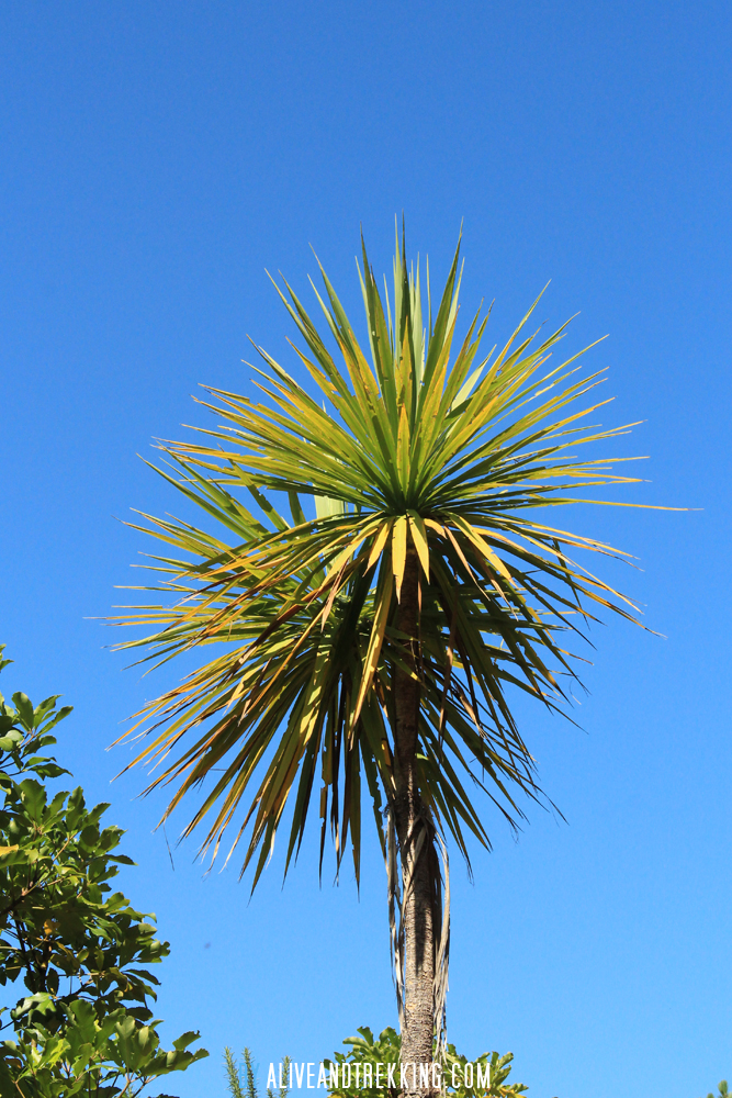 hopewell_cabbage-tree
