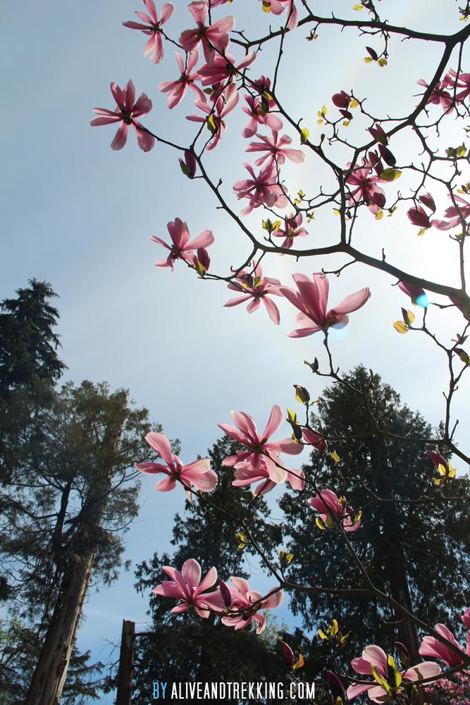vancouver_magnolia
